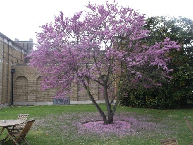 The Judas tree at DPG