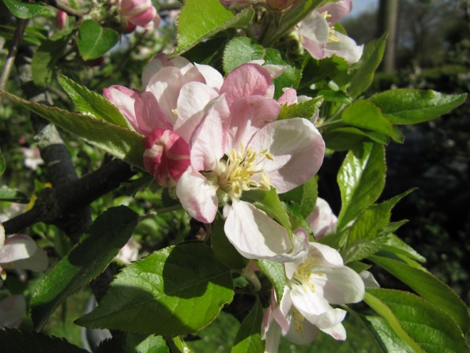 May Apple Blossom